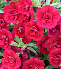 Superbells Double Ruby 10 Inch Monoculture Hanging Basket