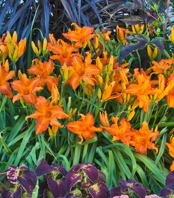 Daylily - One Gallon Pots, Sold in 6 count trays