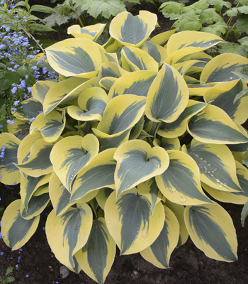 Hosta - One Gallon Pots, Sold in 6 count trays